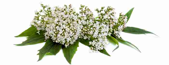Valerian flowers and leaves with white background