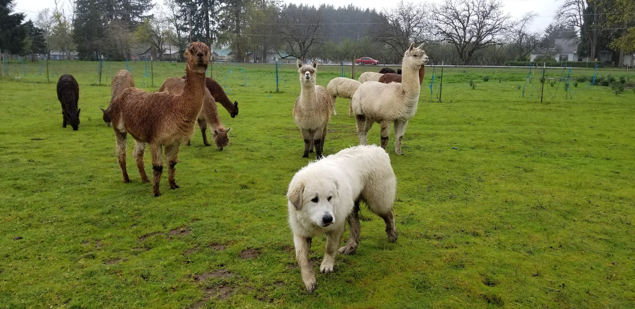 Traveling With Working Livestock Guardian Dogs