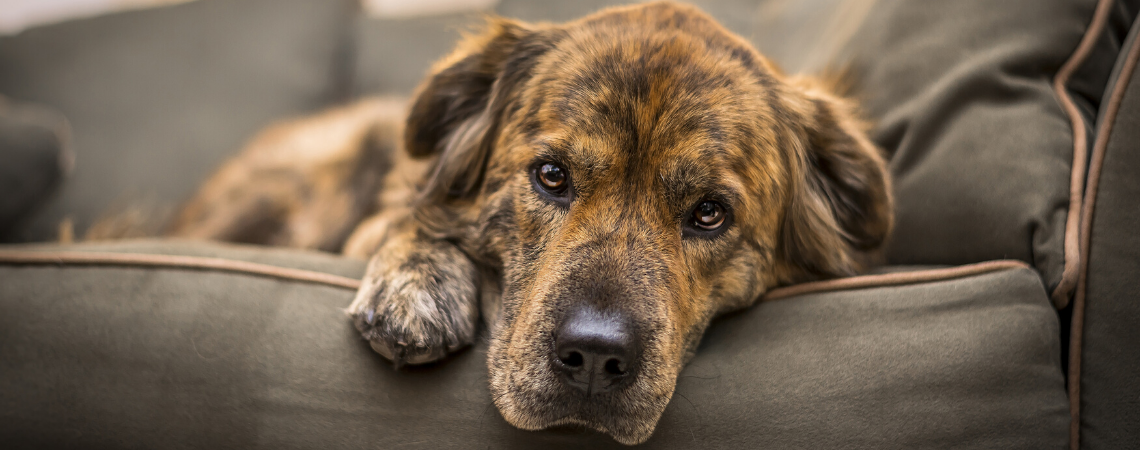 DOG SUFFERING FROM LEAKY GUT SYNDROME