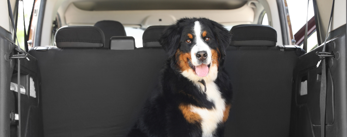BERNESE MOUNTAIN DOG IN CAR TRUNK