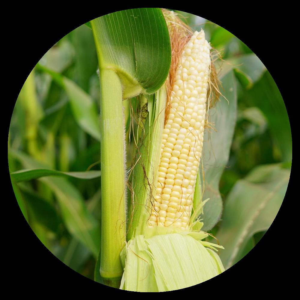 Golden Bantum Corn Stalk