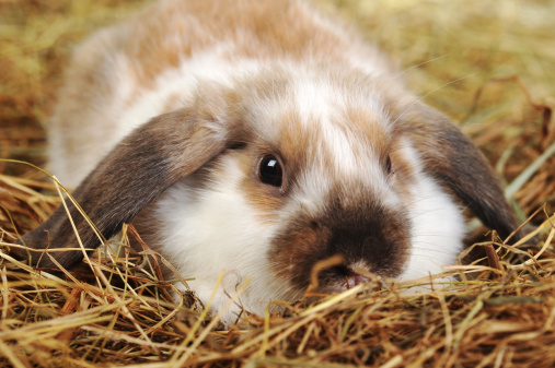 baby rabbit eating hay