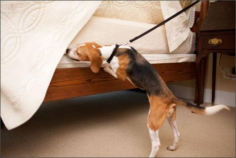 chien détecter punaise