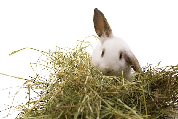 rabbit in hay