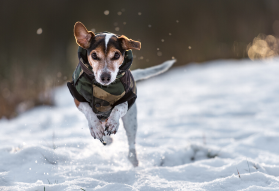 DOG WEARING COAT RUNNING THROUGH SNOW