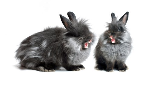 two black grey rabbits