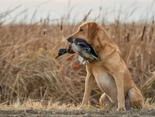 HUNTING DOG WITH DUCK