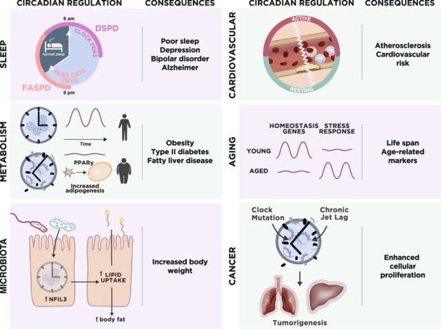 The consequences of circadian rhythm disruption occur within a number of physiological areas.