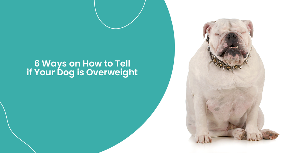 Photo of overweight dog, How to Tell if Your Dog is Overweight