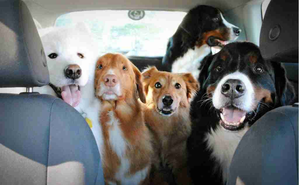 Five dogs in back of car. https://qcostarica.com/pets-can-travel-in-the-car-but-not-up-front-with-the-driver-transito-chief-explains/