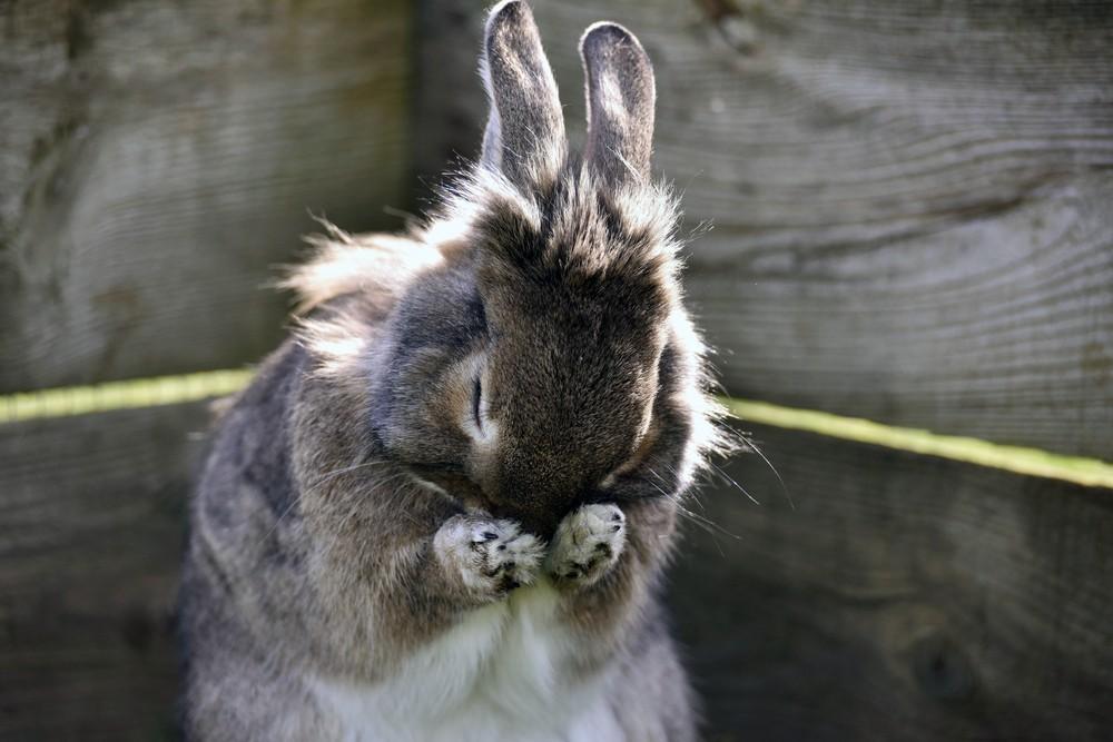 rabbit grooming itself