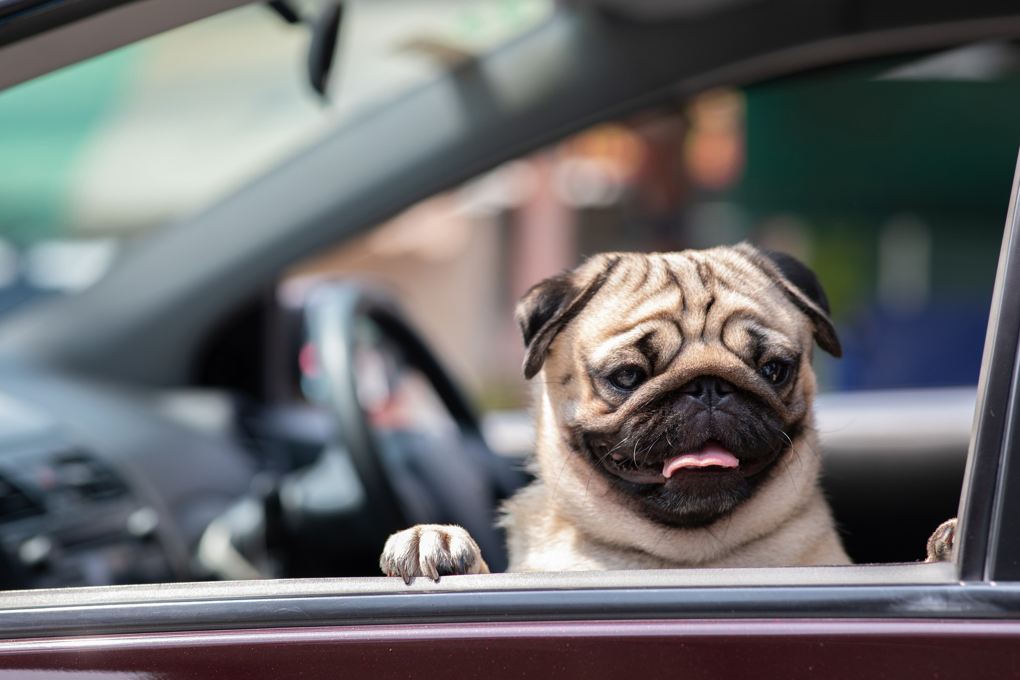 6 Tips for Easy Travel With Your Pug