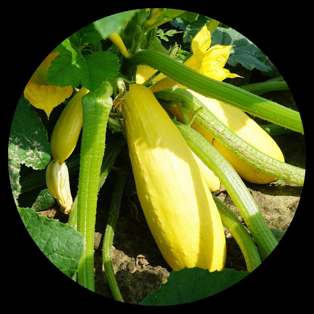 Crookneck Squash Plant
