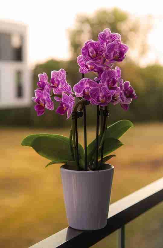 Orchidella