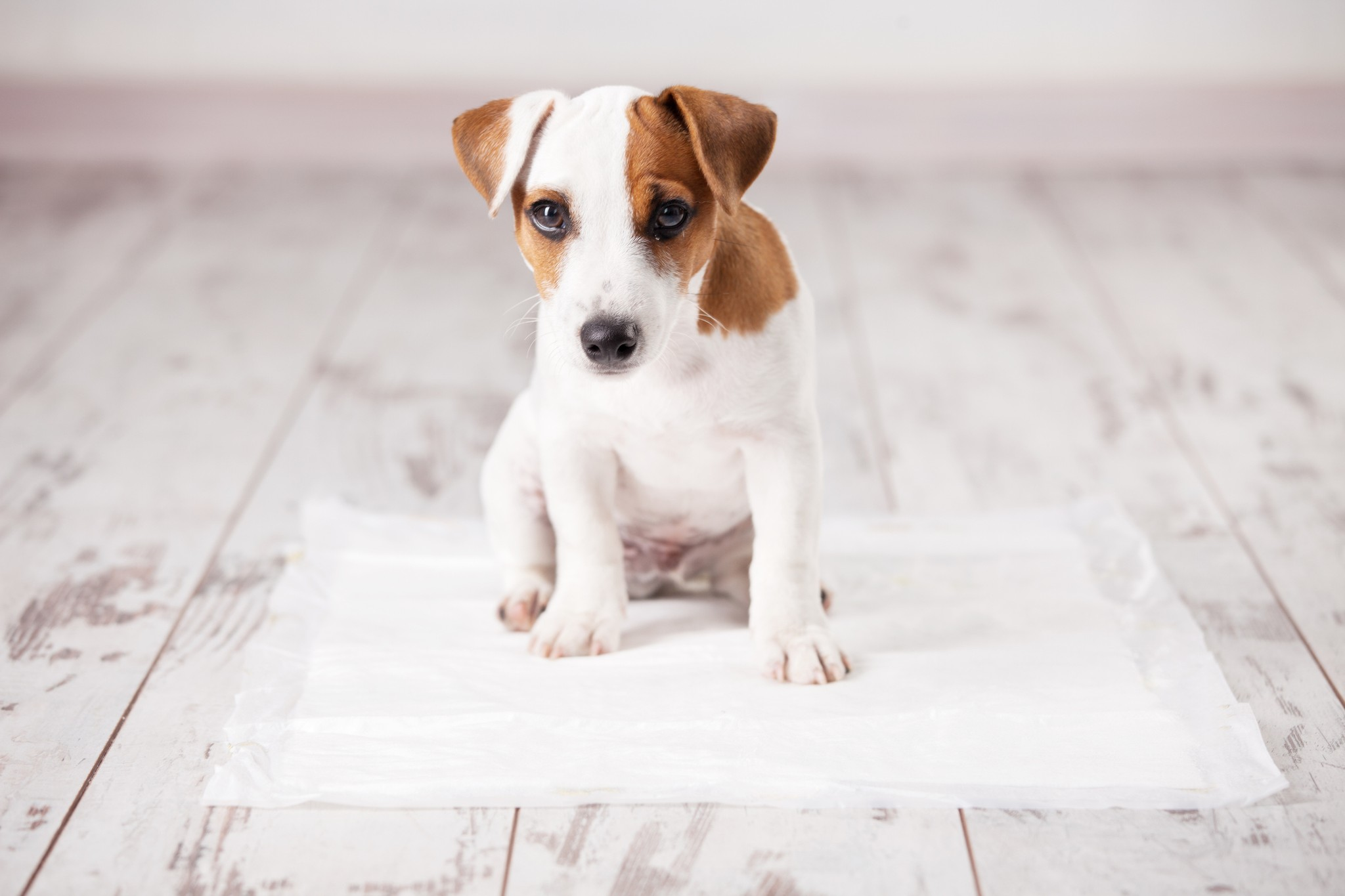 How to Remove Pet Odors When Potty Training