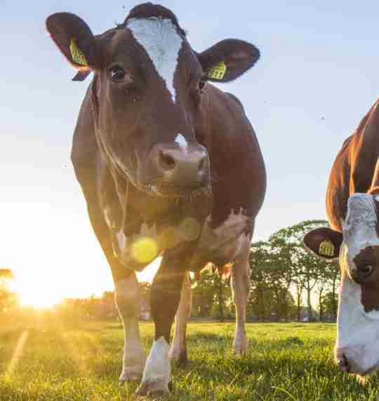 Sustainably Sourced Grass-Fed Whey Protein Isolate and Colostrum Ingredients