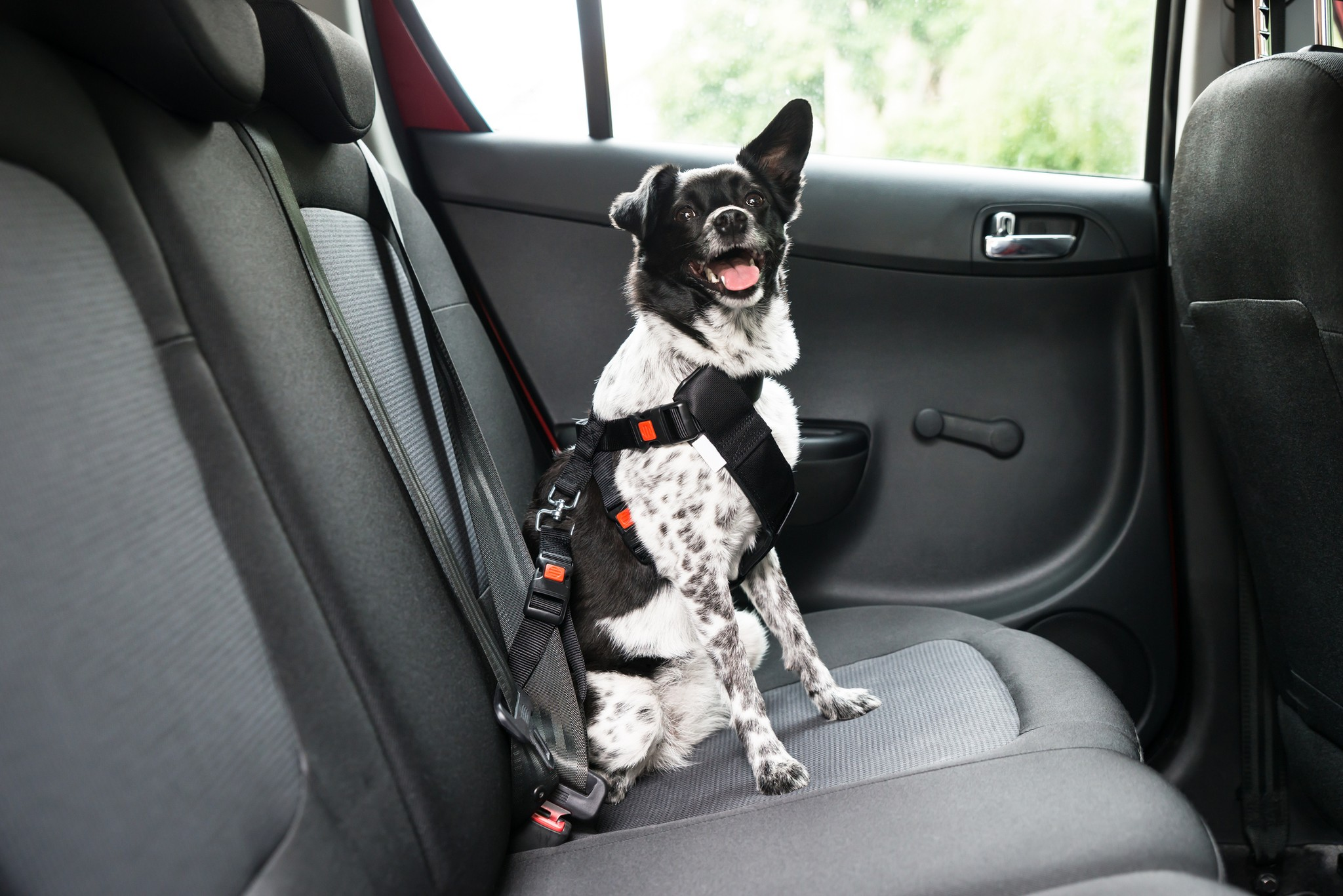 Riding in Cars With Dogs—Buckle Up, Be Cool & Be Safe!