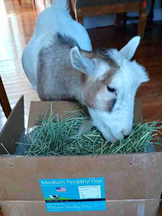 Philly eating Medium Timothy Hay