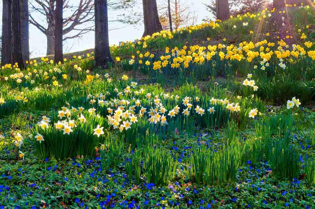 naturalised daffodils under deciduous trees