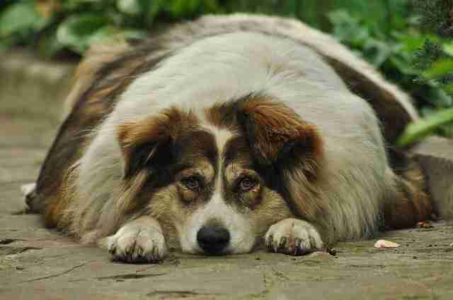 How to Prevent Diabetes in Dogs Obese Dog