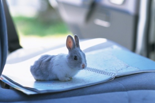 rabbit in a car on a roadmap