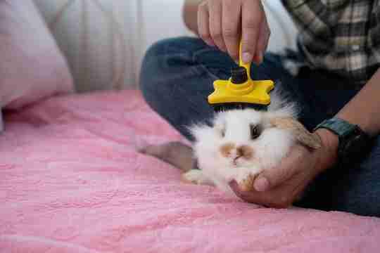 man brushing rabbit