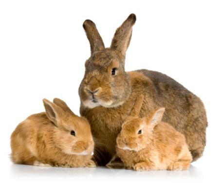 How much rabbit sex span