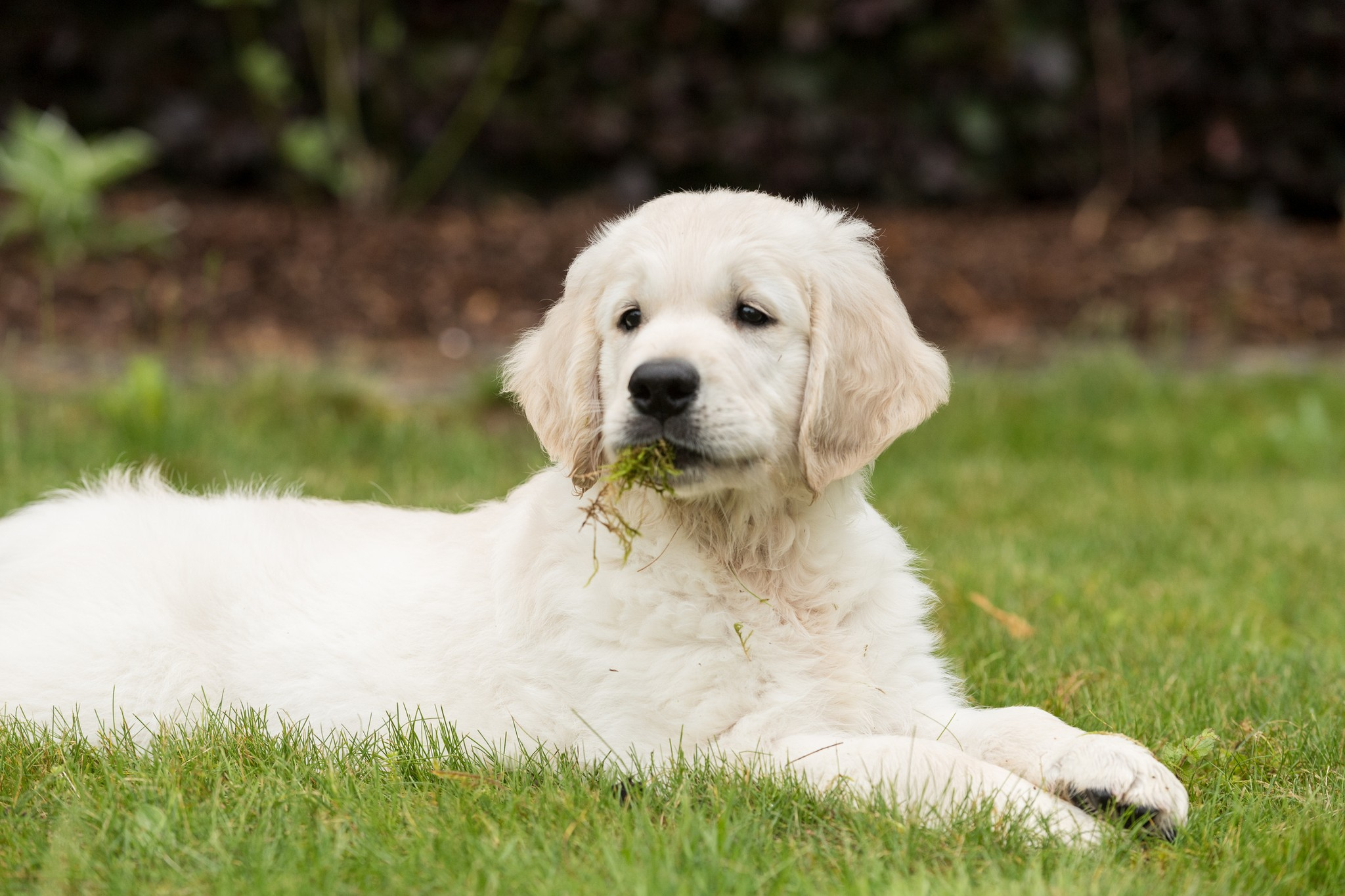 Dog Behavior: Why Do Dogs Eat Grass