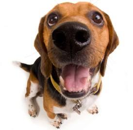 chien beagle détecteur punaises