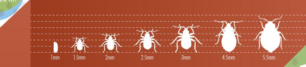 infographie punaise de lit