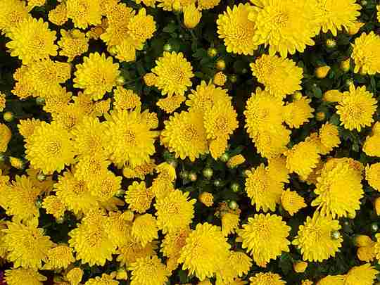 A bed of yellow chrysanthemums.