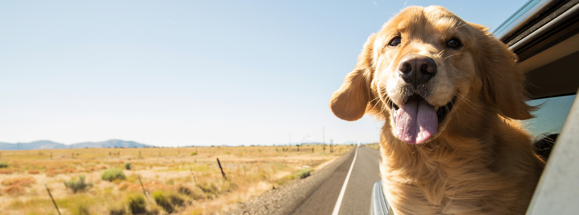 GOLDEN RETRIEVER ENJOYING ROAD TRIP