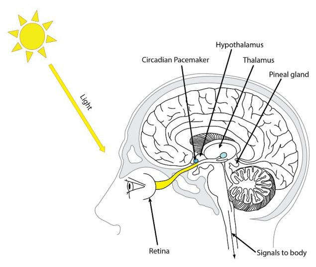 Light enters the eyes, (even through closed eyelids during sleep) stimulating a signal in back of the retina down a nerve track to the circadian clock in the brain.