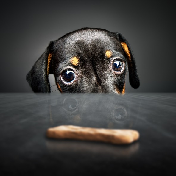 Train Your Dog to Resist Temptation in Four Easy Steps!