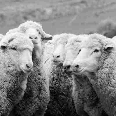 U.S. Materials - Sheep