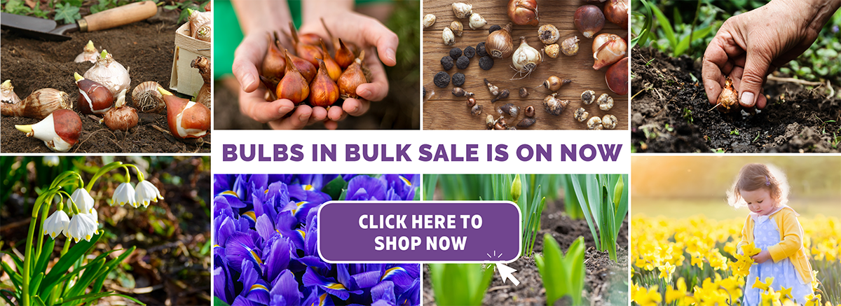 Buy Spring Flowering Bulbs in Bulk and get the cheapest prices in Australia.