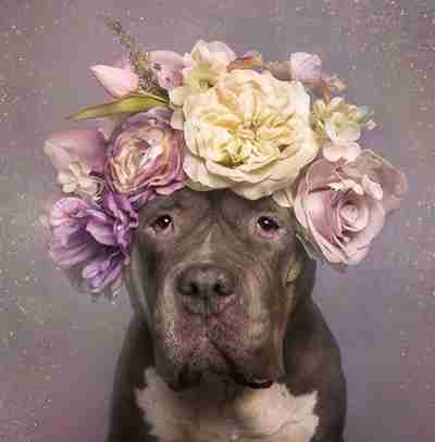 Pitbull wearing a flower crown