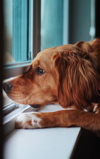 GOLDEN RETRIEVER WAITING FOR OWNER TO COME HOME