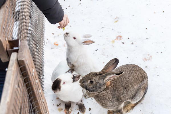 rabbits in winter