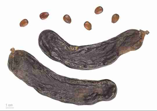 Carob seed pod