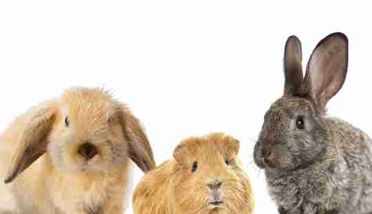 Rabbits plus a guinea pig