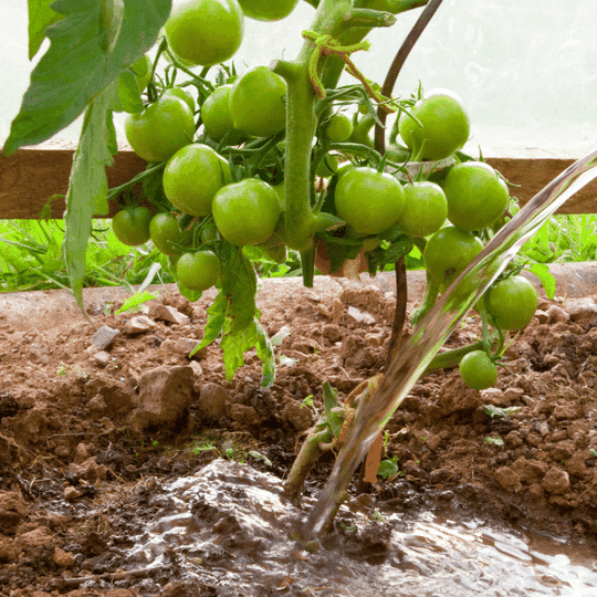 Water your tomatoes correctly