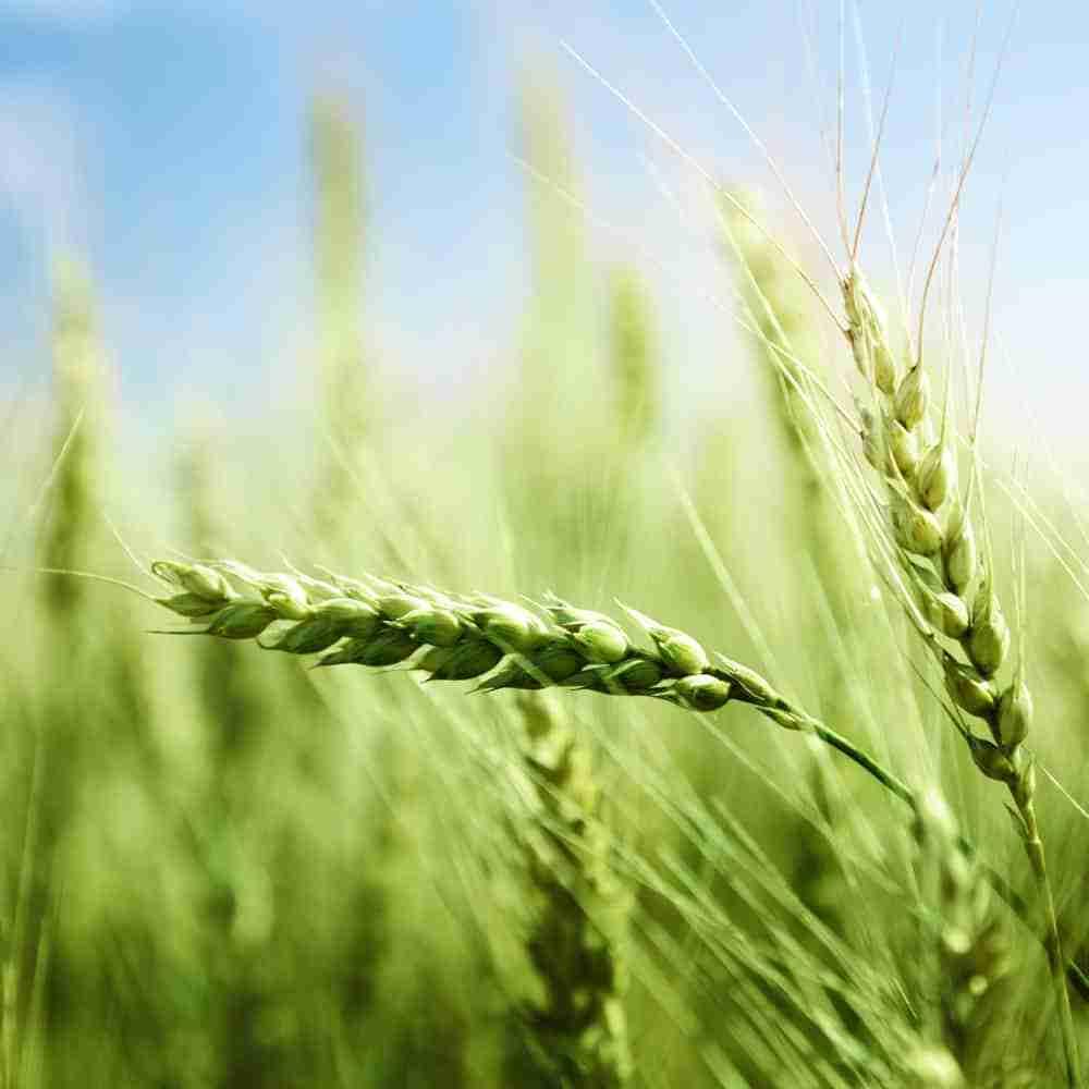 Wheatgrass, Barley Grass, Spirulina, Chlorella, Alfalfa