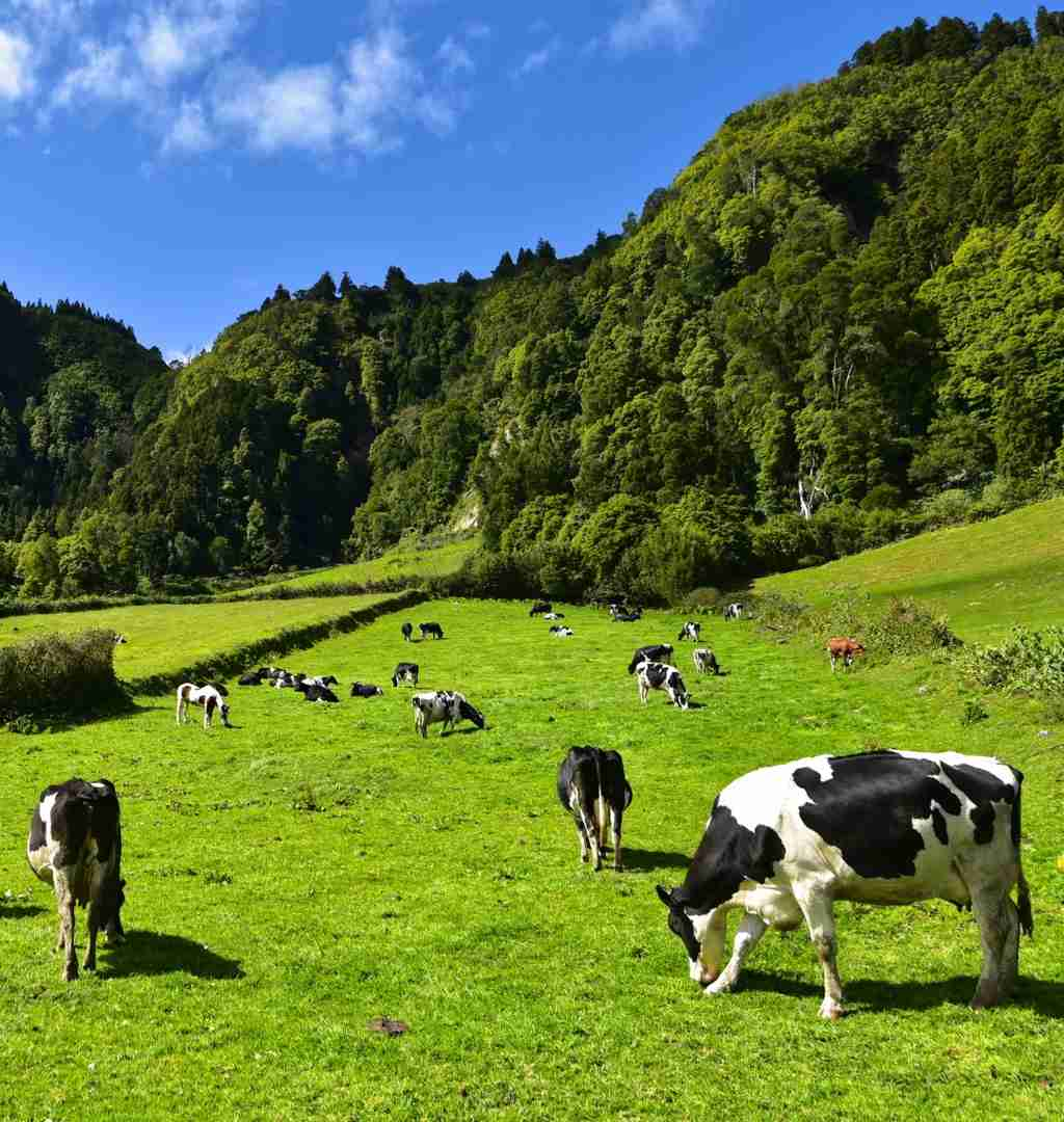 Grass fed cows grazing in a pasture of green grass.