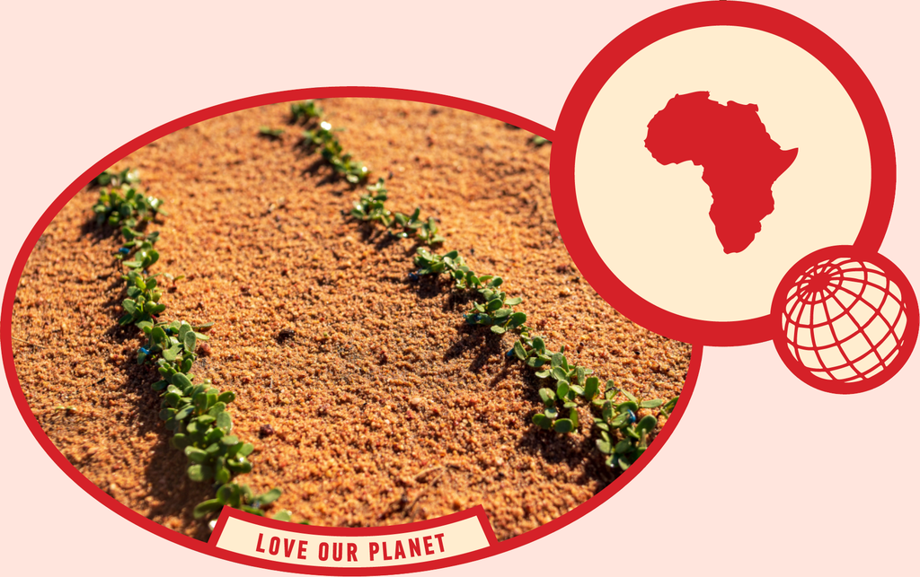 rooibos rocks harvesting love our planet