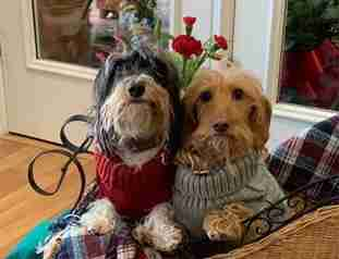 Two dogs in sweaters sitting on a couch together