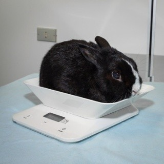 rabbit on a scale