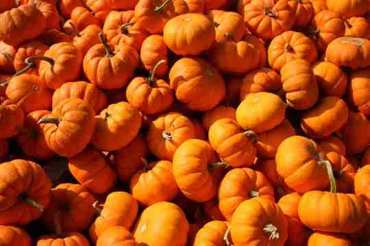 pumpkins pumpkin patch fall