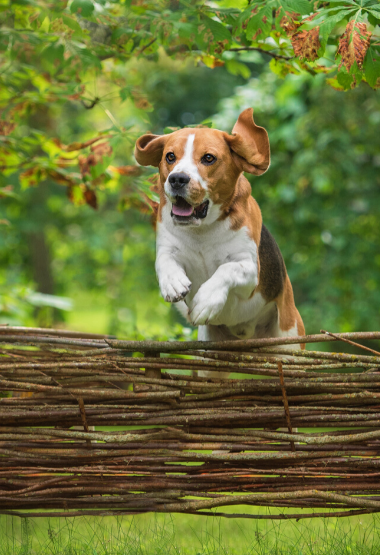 BEAGLE JUMPING OVER A FENCE