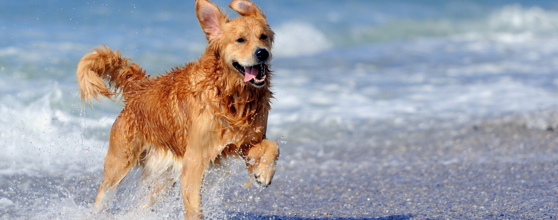 GOLDEN RETRIEVER RUNNING THROUGH OCEAN